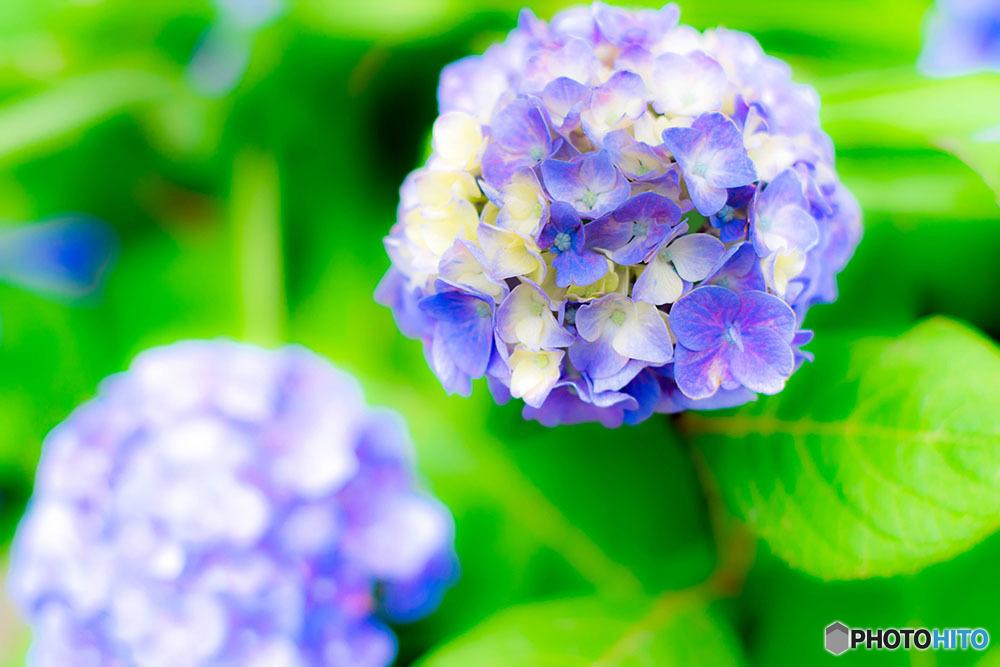 紫陽花がついに日本上陸