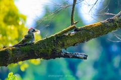 緑啄木鳥のひと時