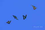青条揚羽蝶