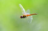 薄羽黄蜻蛉