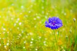 Cornflower   ~矢車菊~