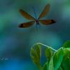 深山川蜻蛉