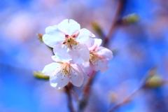 2018.3.11 桜