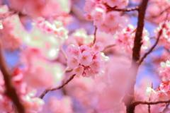 2018.2.28 桜