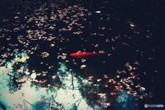 紅葉浮かぶ池の鯉