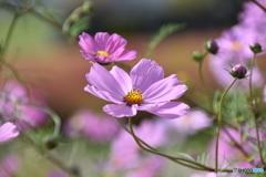 大石公園の花(2017年10月8日)