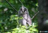 フクロウの雛 1 reflexレンズで撮って見ました。