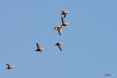 公園に春が来た 2 カルガモ飛行隊。
