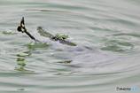 沼の食物連鎖 4 ウチワトンボ捕獲