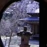枝垂桜 樹齢400年