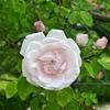 薔薇・ニュードーン