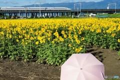 日傘とヒマワリ