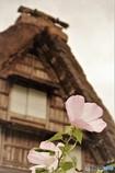 合掌とムクゲの花