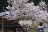 見事な桜に見とれる