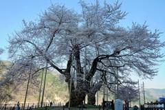 今年は咲いた荘川桜