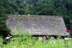 咲き始めのコスモス