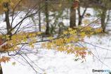 合掌集落の秋10(雪とモミジ1)