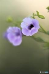 夏の花 トレニアカタリーナ