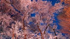 2018夜桜 Part5