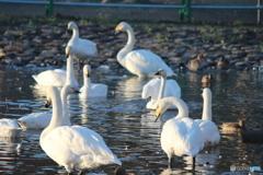 瓢湖の白鳥8