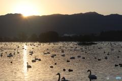 瓢湖の白鳥5