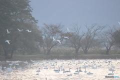 瓢湖の白鳥4