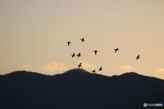 瓢湖の白鳥3