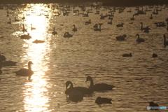 瓢湖の白鳥6