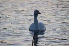 瓢湖の白鳥2
