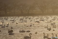 瓢湖の白鳥9