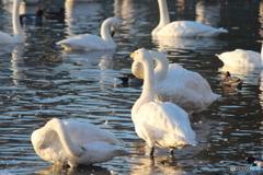 瓢湖の白鳥7