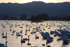 瓢湖の白鳥1