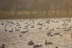 瓢湖の白鳥10