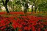 Autumn Red♪