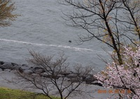 NIKON NIKON D5300で撮影した(DSC_0280 びわ湖を帯になって流れ下る花筏)の写真(画像)
