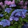 露に潤う紫陽花の園