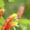 植物公園内温室の草花2017年4月 7(コエビソウ)