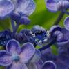 紫陽花 4(おたふく紫陽花)