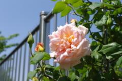 さくの薔薇