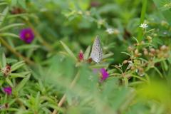 野花とヤマトシジミ蝶