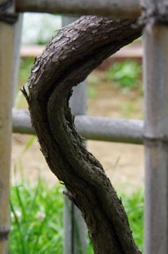ブドウの幹