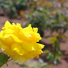 薔薇 10