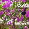 ブーゲンビリアと蝶