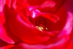 赤い情熱(薔薇)