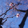 十月桜 2