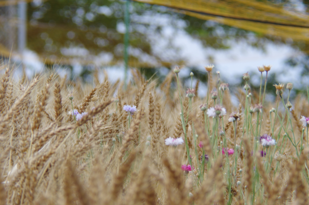 麦とヤグルマギク