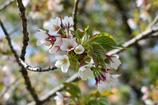 さくら 大島桜
