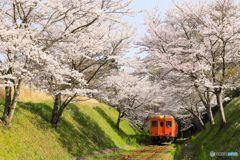 桜トンネル#1