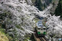 只見の桜トンネル!