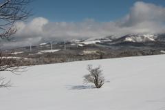 一本桜(冬)